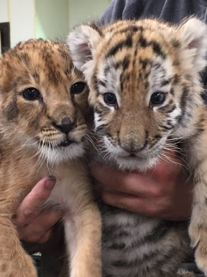 2016: Zuri the lion and Nadya the tiger, two cubs born late in 2015 at Six Flags Great Adventure in Jackson.
