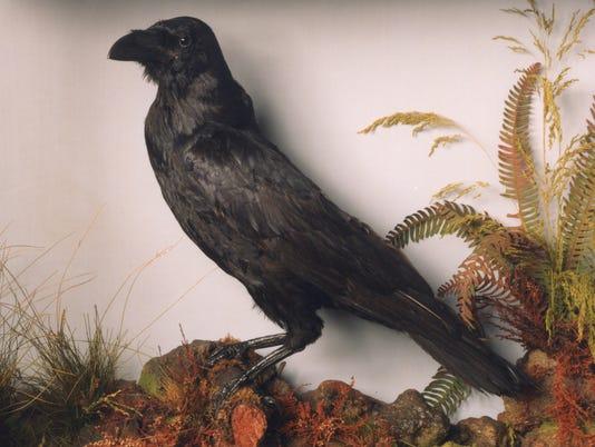 636337347246230572-grip-the-raven-RBD.jpg