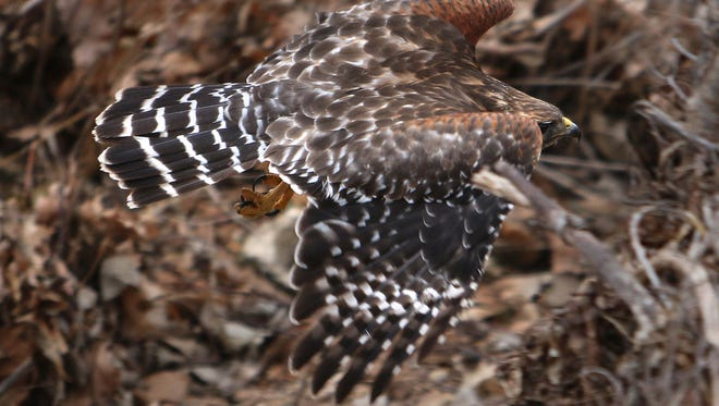 Sharp-eyed bird counters might see a  red shouldered hawk like this one flying near Sequiota Park.