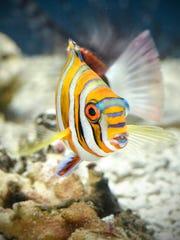 An inquisitive harlequin tuskfish swims in an aquarium