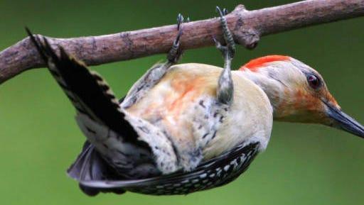 A red-bellied woodpecker.