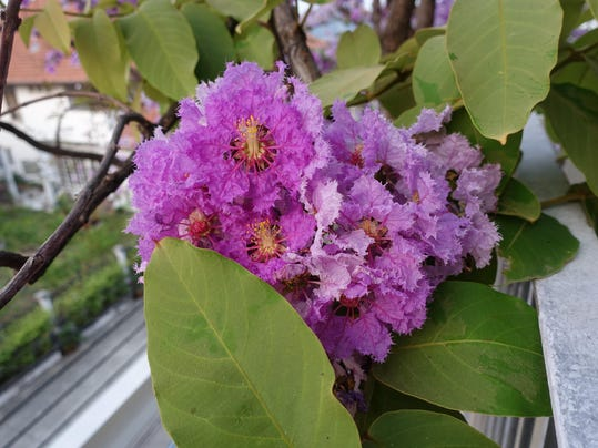 Inthanin flowers or Queen crape myrtle, Lagerstroemia macrocarpa Wall