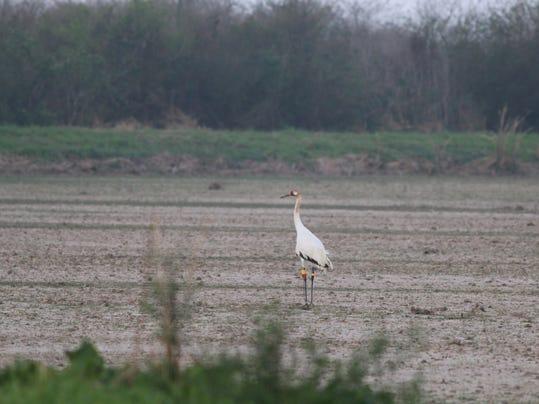 Louisiana Whooping Cranes