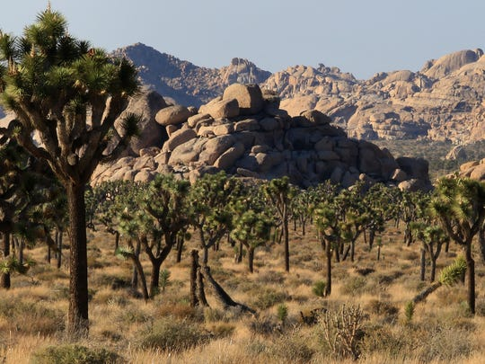 A view of Joshua trees from Keys View Road at Joshua