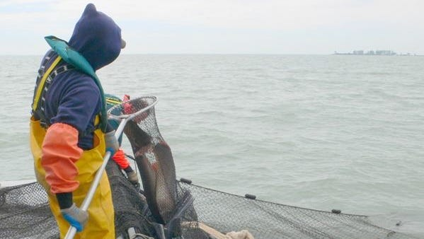 An staff member with the Michigan Department of Natural Resources Fisheries Division nets musky on Lake St. Clair in a 2009 photo. As the DNR conducts fish surveys, some of the catch are shared with the Department of Environmental Quality for analysis of the levels of mercury and other toxins in the fish's tissues.