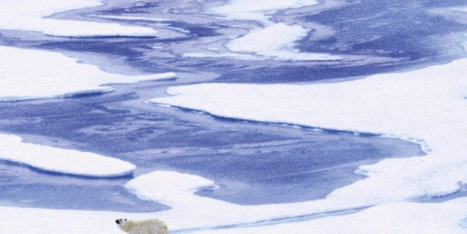 A polar bear pauses while exploring an area of sea ice in Alaska, in this file photo. Diminishing sea ice in the Arctic is one of the impacts of man-made climate change.