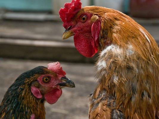 poultryX2 (1)