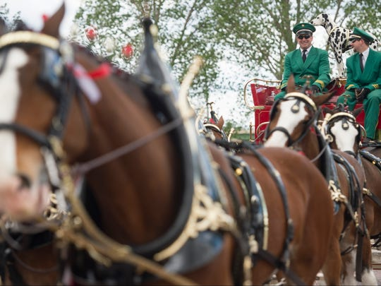 Clydesdales wait to welcome Gov. John Hickenlooper to the Biergarten tasting room at Anheuser-Busch in Fort Collins on Tuesday, May 23, 2017. The brewery announced about $28.5 million in investment in its Fort Collins facility.