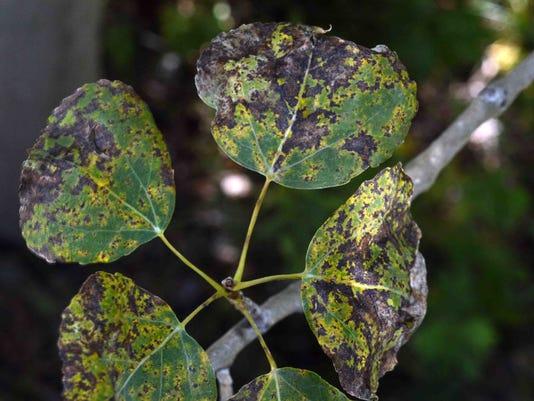 Marssonina fungus