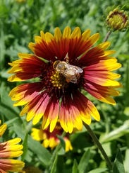 A blanket flower (Gaillardia pulchella) is a good one to add to your landscape now because it can handle full sun through the summer.