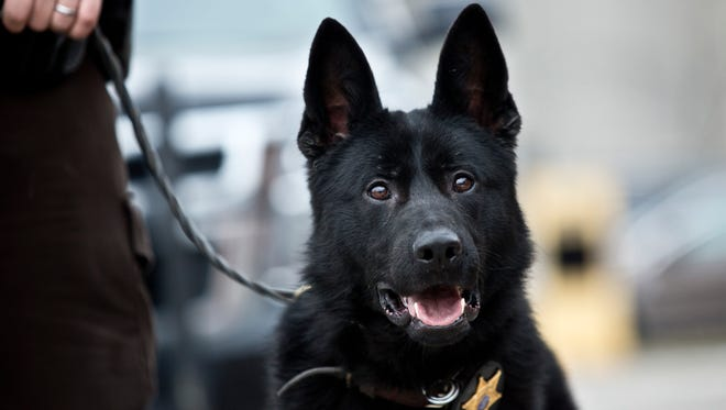 Faust, a new police dog, pictured Wednesday, Dec. 30, 2015 at the St. Clair County Sheriff's Department. Faust, a 2-year-old German Shepherd, is joining the department in the new year with the retirement of Fist.