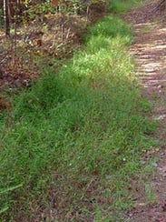 Japanesestiltgrassmass_502762_7