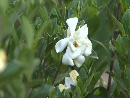 635823158560200437-gardenia