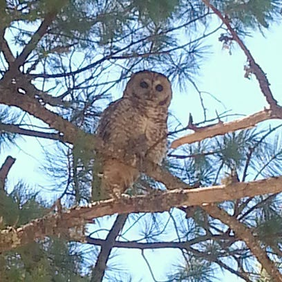 Smokey's Corner: In Search of Mexican Spotted Owl