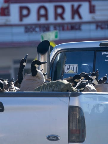 Canada geese decoys are transported in a pickup truck