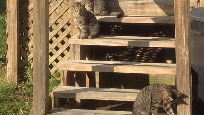 Three feral cats sun themselves on a deck Thursday morning at Friendly Village on the city's south side. Another three cats were hiding under the deck. The Lafayette City Council is expected to vote Monday night on a new trap-neuter-return program in an effort to curb the feral cat population.