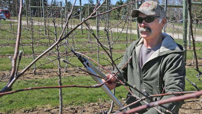 Ray Burg prunes an apple tree at his Rim's Edge Orchard in Colgate on Friday. Burg supplies apples to Germantown School District in the fall and would like to expand those sales to other schools.