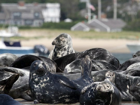 Gray Seals Nuisance_Oliv.jpg