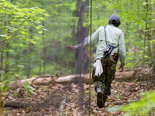 Armando Aispuro walks along a string of nets set up to catch veery in White Clay Creek State Park on Monday morning.