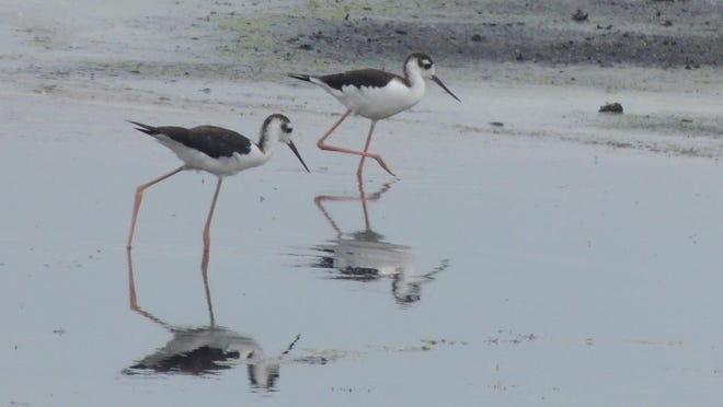 Shorebirds, like these black-necked stilts seen recently at Horicon Marsh, are already midway through their long migration season that begins shortly after nesting in July.