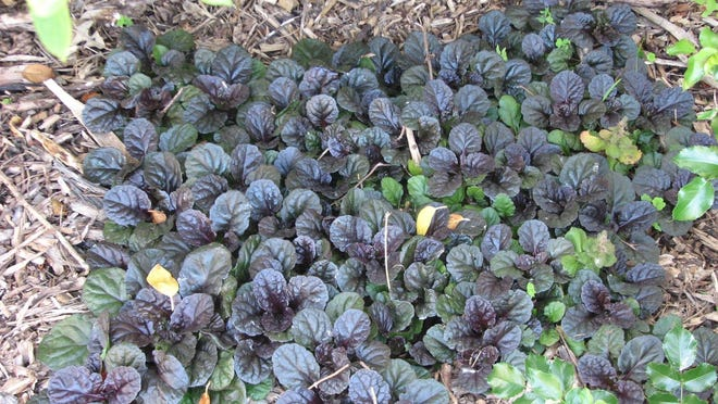 When given the right conditions, ajuga forms a dense mat that few weeds can penetrate and it is deer-resistant, too.