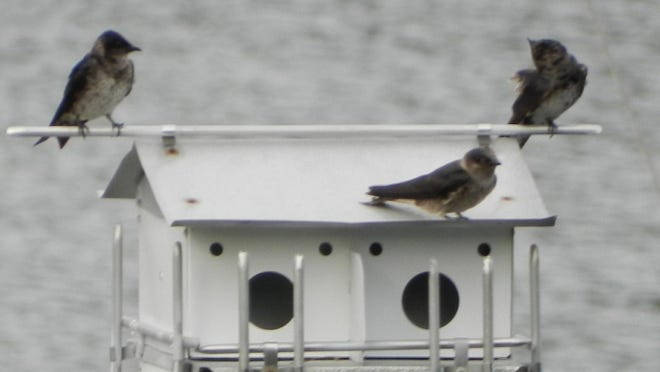 The new Purple Martin house at the end of Jim and Carol Hampson's dock has attracted new residents, completing a bucket-list item for Carol.