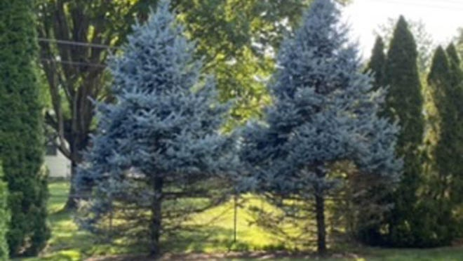 Disease has damaged the lower branches of these Colorado Blue Spruce trees.