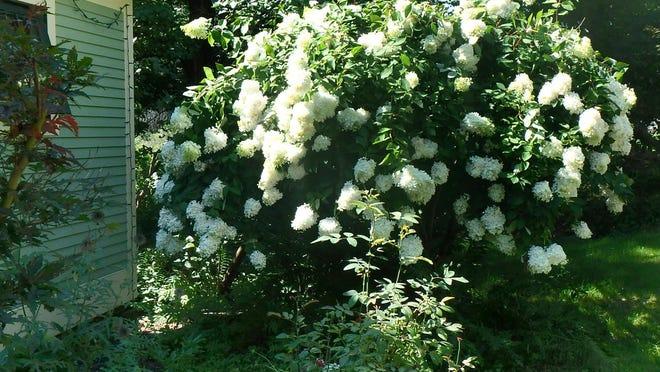 Henry planted this PeeGee hydrangea 25 years ago.