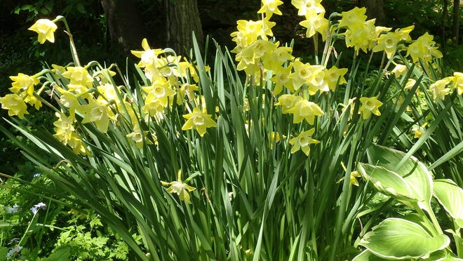 Daffodils look great planted in big masses.