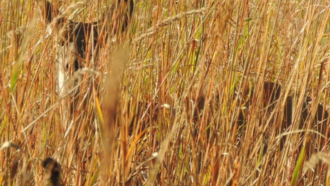 Fall wildlife watching means looking closely as many animals may be well camouflaged in the drying grasses and fall woodlands. Here, a young whitetail blends into golden prairie grasses.