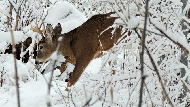 Learning to read tracks and signs in the winter snow enable you to understand the ways of many varieties of mammals and birds during the cold season. This whitetail buck is following the scent of a doe through fresh-fallen snow in Winnebago County.