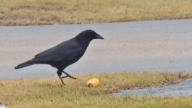This crafty crow fed upon the hard to reach kernals of corn on this stubborn cob by dropping it onto the hard pavement of a Neenah bank last week.