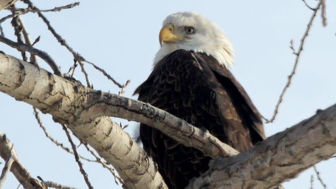 Bald eagles did not disappoint at the Day With Eagles Along the Fox River event, held this past weekend. Nearly two dozen viewing locations, along with speakers and presentations at a number of locations helped the community celebrate these incredible birds. ROB ZIMMER/Post-Crescent Media.