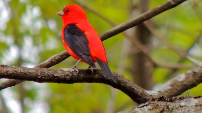 Identifying birds such as this scarlet tanager by sight and sound is a great way to begin your journey to becoming a Wisconsin Master Naturalist volunteer.