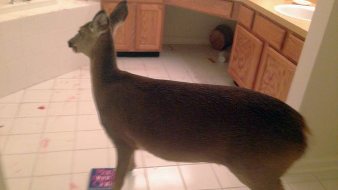 In this photo provided by the Galloway Police Department, a deer stands in the bathroom of a house in Galloway, N.J. on Saturday, Dec. 6, 2014. Police received a 911 call at around 3:30 p.m. Saturday from a woman reporting that a deer ran through her house while she was putting sweet potatoes in the oven. The woman said she followed the deer into the back of the house and locked it in a bathroom. After a brief standoff, police escorted the animal from the home and released it into the wild. (AP Photo/Galloway Police Department)