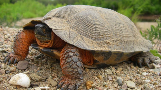 Construction of a crossing over Bloody Run Creek could result in the accidental killing of the threatened wood turtle, pictured here.