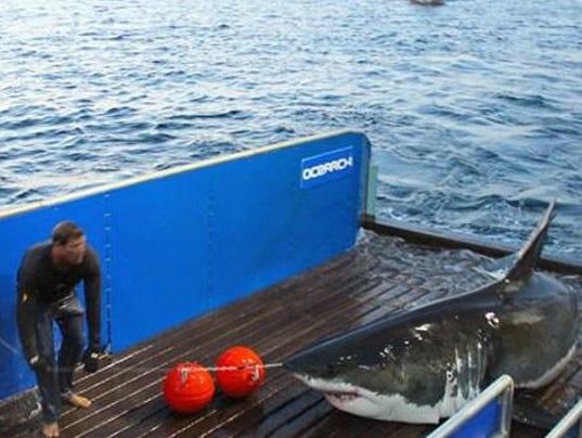 635664254744030835-shark-mary-lee-ocearch