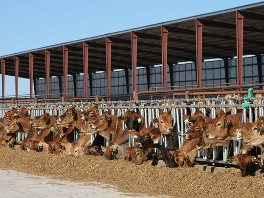 Cows eat at the feed bunk at Avi-Lanche Dairy in Dalhart.