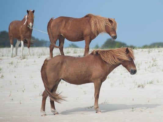 X rp Assateague ponies (1 of 11).jpg