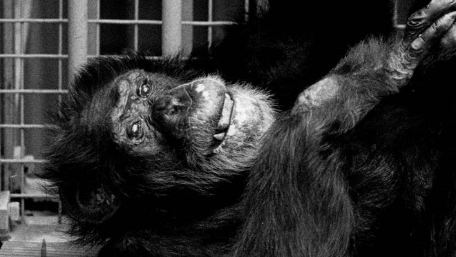 Jimmy seems quite relaxed in this 1985 photo. When he died at the age of 55 or 56, he was considered the oldest chimp in captivity.