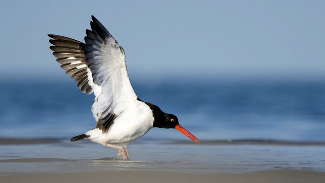 The Cape is a summer home for many thousands of migratory birds each year. Oystercatchers (one pictured) are here now, but will soon return to the South.