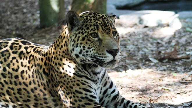 Mulac, a male jaguar from Sacramento, Calif., has found a new home a the the Brevard Zoo.