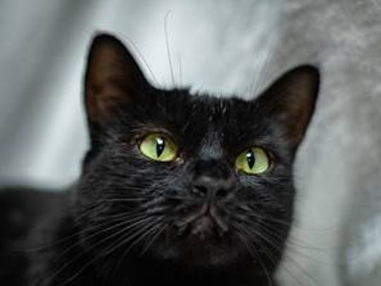 Nibbles - Female (spayed) domestic short hair, about
