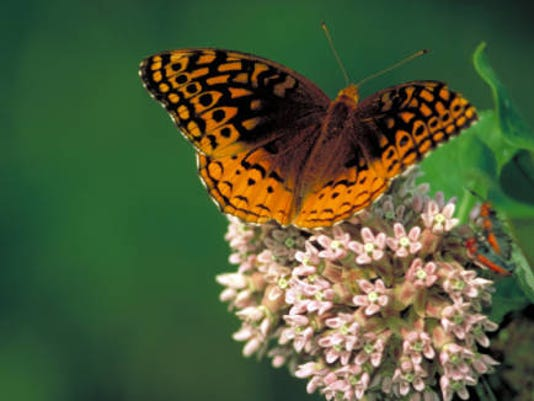 Great_spangled_fritillary_on_Common_milkweed.jpg