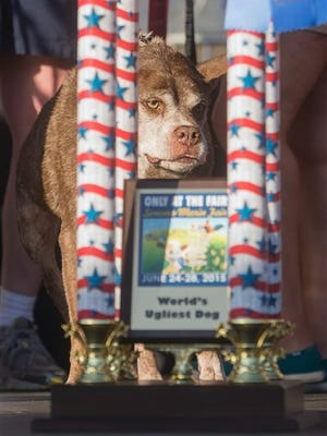 Quasi Modo wins top honors in the World's Ugliest Dog Contest at the Sonoma-Marin Fair on Friday, June 26, 2015, in Petaluma, Calif. Quasi Modo's owners, who travelled from Florida to compete, will receive $1500.