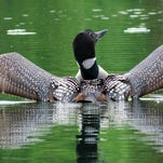 """Linda Bingemann of Great Falls took this photo, which she calls """"Lovely Loon,"""" while kayaking on Blanchard Lake. """"The loon popped up from under the water, and I was able to get a quick picture before it dove back under the water,"""" Bingemann writes. If you have a favorite outdoors photo you would like to share, please email it to triboutdoors@greatfallstribune.com. Include your name, hometown, phone number and a sentence or two about where the photo was taken and a few details."""