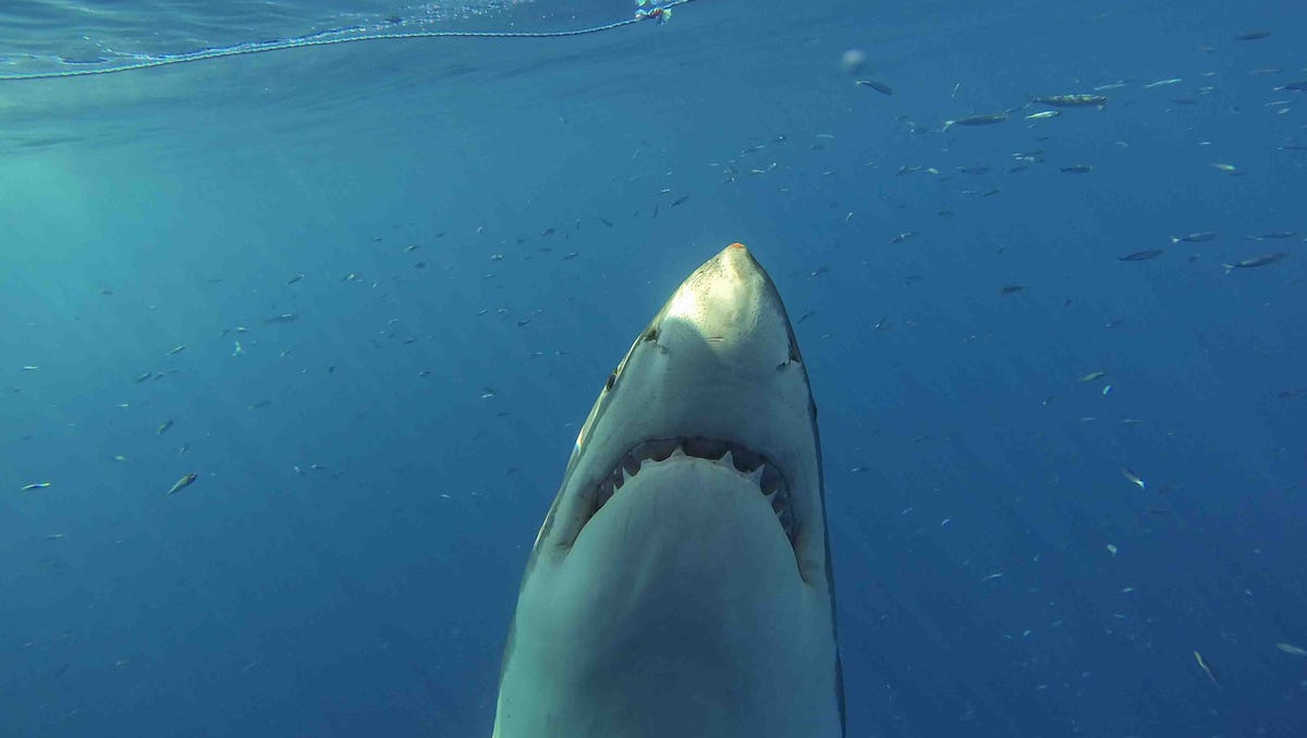 Evidence Points To Great White Shark Nursery Off N J