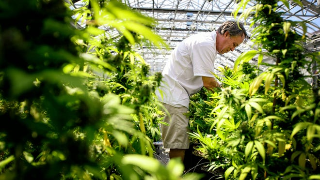 Guy Lindblom picks unnecessary leaves Tuesday from mature cannabis plants so they can concentrate more of their energy into the flowering buds where the medicinal chemicals are produced at a greenhouse in Otsego.
