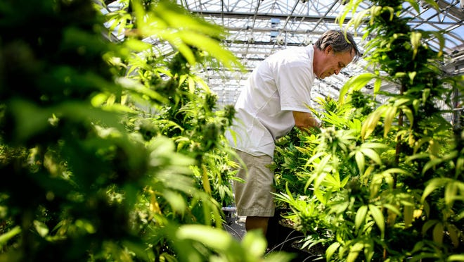 Guy Lindblom picks leaves from mature cannabis plants at a greenhouse in Otsego, Minnesota.