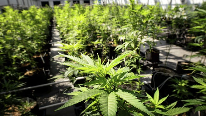"""""""Even in Colorado, which pioneered the legal use and sale of recreational pot, marijuana commerce plays out between the legitimate and the shady."""""""